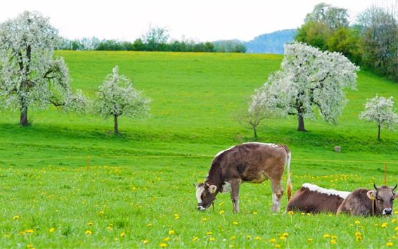 Fondos de pantalla Vaca, hierba verde, flores, primavera.