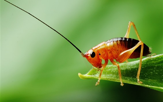Wallpaper Cricket, insect, green background