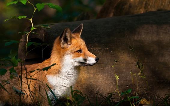 Papéis de Parede Animal bonito, raposa, arbustos
