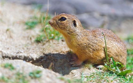 Wallpaper Cute animal, gopher, ground, grass