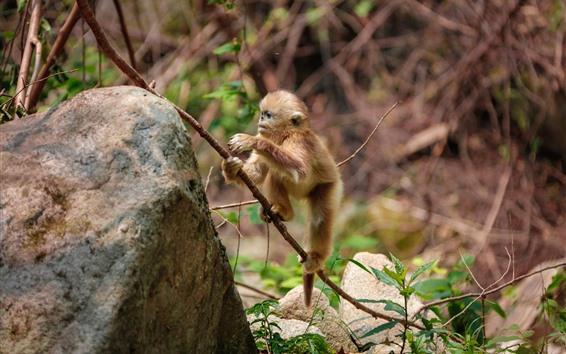 Papéis de Parede Filhote de macaco dourado bonito