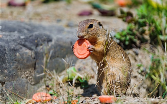 Wallpaper Cute gopher eat carrot