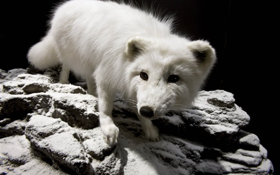 Papéis de Parede Raposa polar pequena bonito