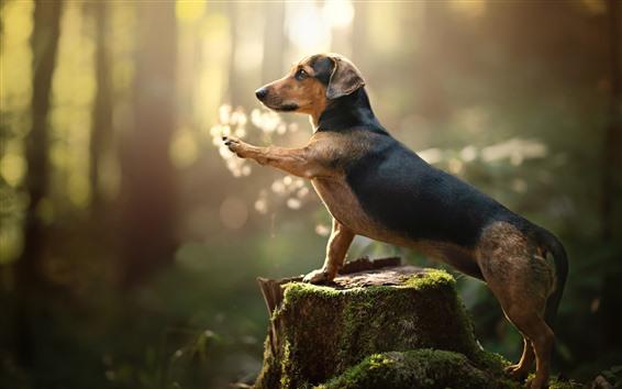 Papéis de Parede Dachshund, cachorro, pata, toco, musgo