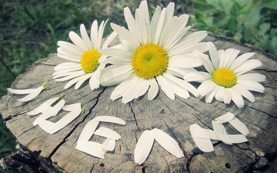 Wallpaper Daisies, white flowers, stump