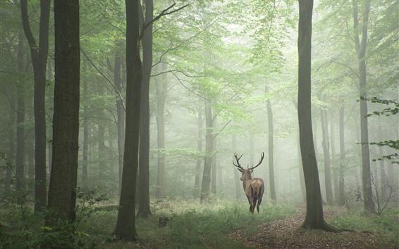 Papéis de Parede Veado, floresta, nevoeiro, manhã