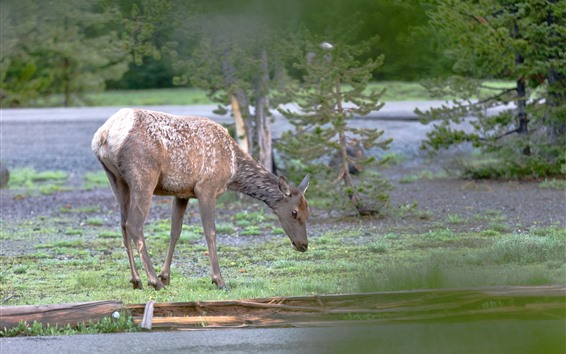 Fondos de pantalla Ciervos, fauna silvestre, árboles