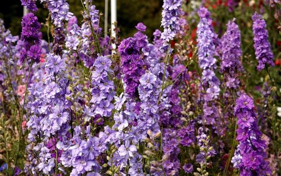 Fondos de pantalla Delphinium flores púrpuras