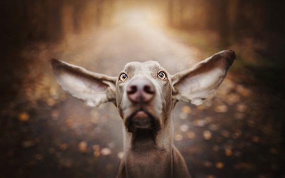 Fond d'écran Chien, visage, grandes oreilles, yeux, nez