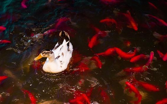 Papéis de Parede Pato e peixes, lagoa