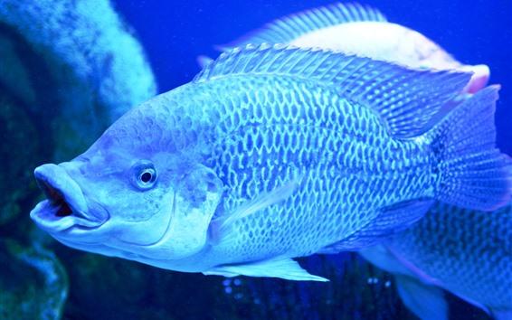Wallpaper Fish, scales, under blue light