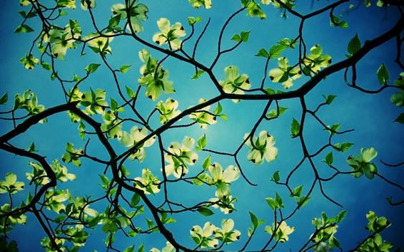 Fondos de pantalla Flores, cornejo, hojas verdes, ramitas.