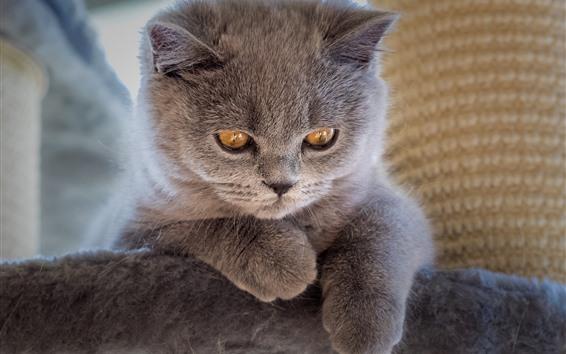 Обои Пушистый серый котенок, жёлтые глаза, взгляд