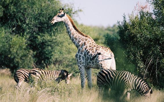 Обои Жираф и зебра, кусты, Африка