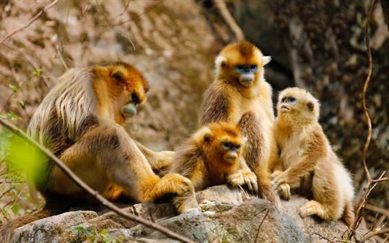 Papéis de Parede Família de macacos dourados, floresta