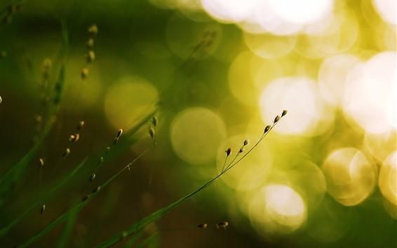 배경 화면 잔디, 씨앗, 밝은 빛 원