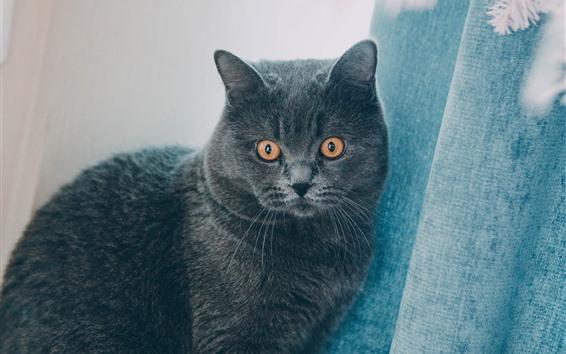 Papéis de Parede Gato cinzento, olhos laranja, cortina