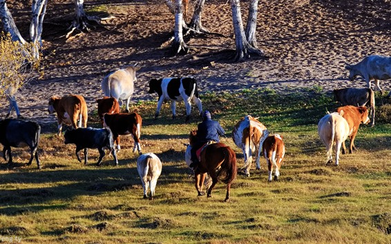 Papéis de Parede Pastoreio, vacas
