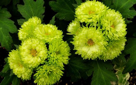 Fondos de pantalla Flores verdes de aster, pétalos.