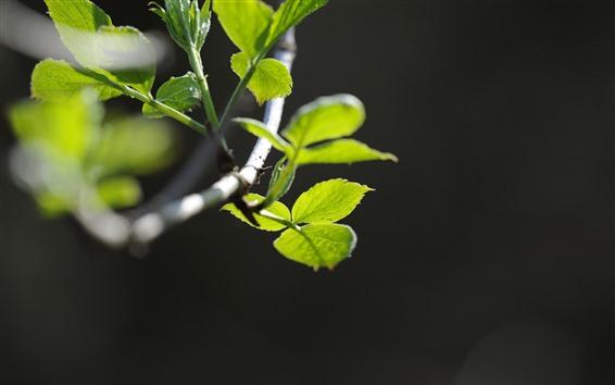 Обои Зеленые листья, ветки, Весна