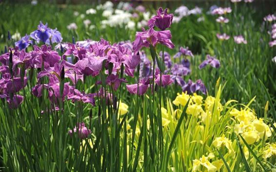 Wallpaper Irises, purple and yellow flowers