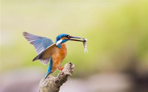 Fondos de pantalla Kingfisher captura un pez, vuelo, alas