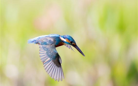 Papéis de Parede Vôo de Kingfisher, asas, close-up do pássaro