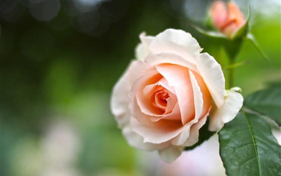 Fondos de pantalla Rosa rosa claro, hojas verdes, fondo brumoso.