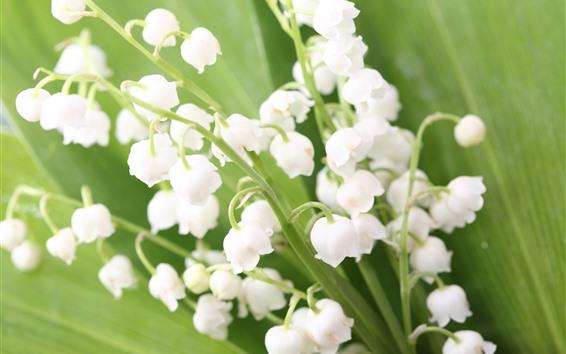 배경 화면 은방울꽃, 흰 꽃, 봄