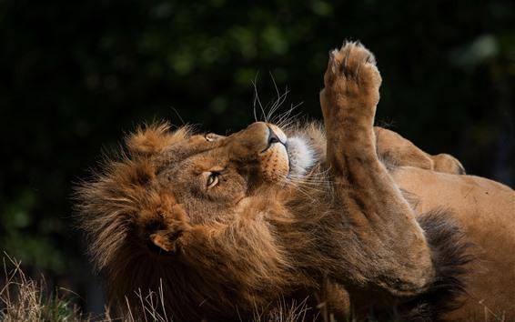 Wallpaper Lion rest, mane, paw