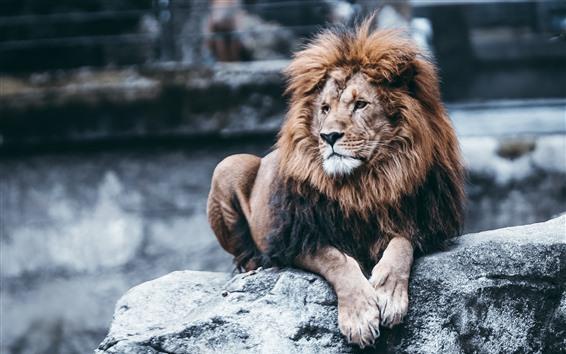 Papéis de Parede Descanso do leão, rochas, jardim zoológico