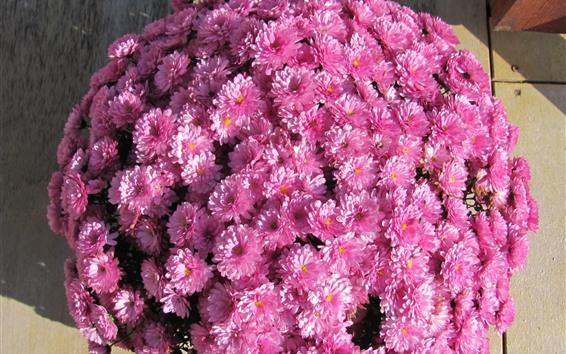배경 화면 많은 핑크 국화, 꽃다발