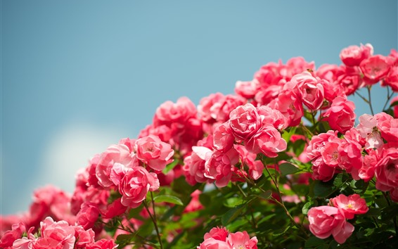 Fondos de pantalla Muchas rosas rosadas, cielo, primavera