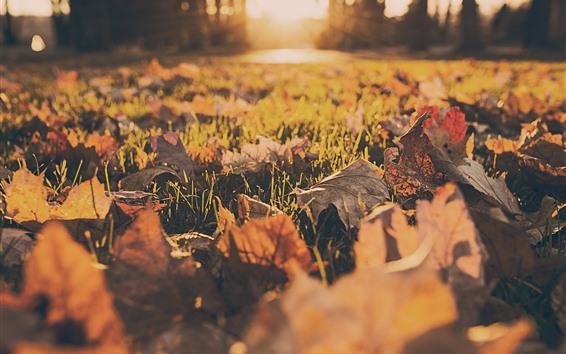 Fondos de pantalla Hojas de arce, tierra, césped, sol, otoño