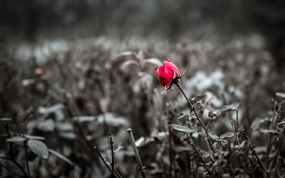 Fondos de pantalla Una rosa roja, brumosa