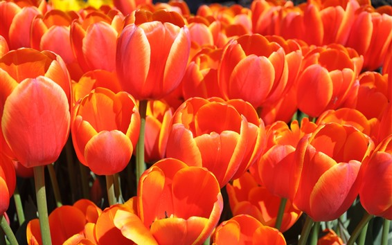 Fondos de pantalla Tulipanes naranjas, hermosas flores