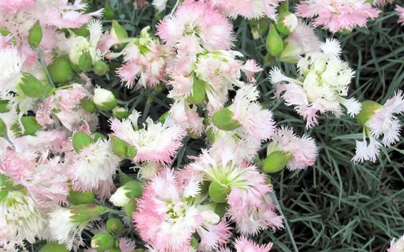 Papéis de Parede Cravos-de-rosa, flores close-up