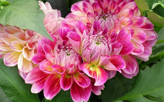 Wallpaper Pink dahlias, petals, beautiful flowers