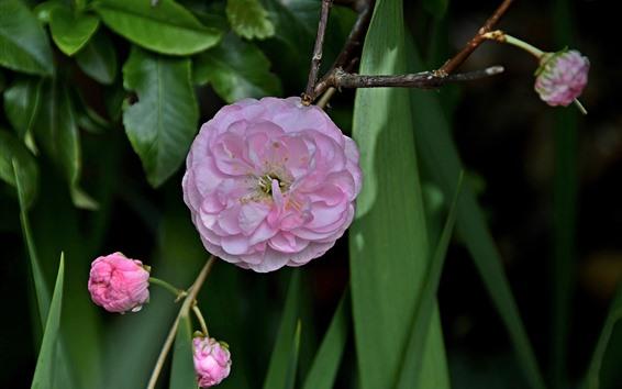 Fondos de pantalla Flores rosas, hojas verdes, primavera.