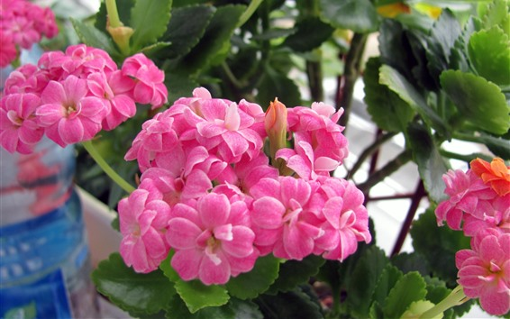 Papéis de Parede Flores cor-de-rosa do Kalanchoe