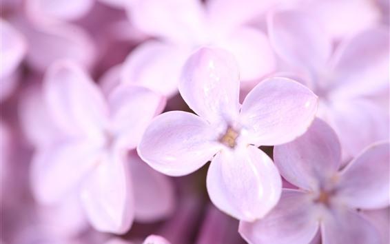 Wallpaper Pink lilac, petals, flowers