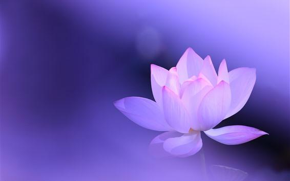Fondos de pantalla Loto rosa, pétalos, fondo morado, flor brumosa, hermosa