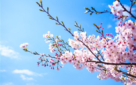 Papéis de Parede Flor cor-de-rosa de Sakura, céu azul, mola