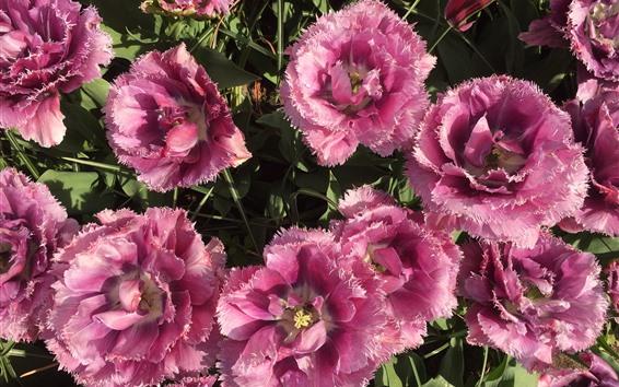 Fondos de pantalla Tulipanes rosa florecen, pétalos.