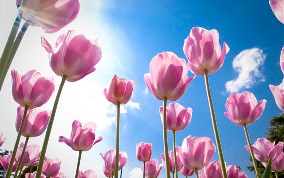 Fondos de pantalla Tulipanes rosados, flores, cielo azul, nubes blancas