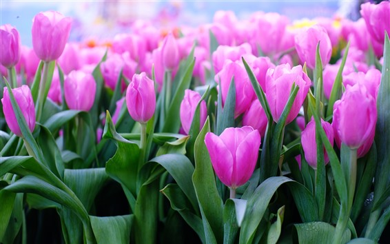 Fondos de pantalla Tulipanes rosados, hojas, tallo