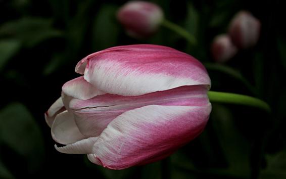 Papéis de Parede Close-up branco cor-de-rosa do Tulip, fundo nebuloso