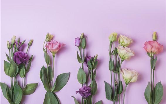 Fondos de pantalla Flores rosas, amarillas, moradas, eustoma.