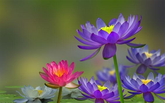 Fondos de pantalla Lirio de agua púrpura y rosa, estanque, agua, aves