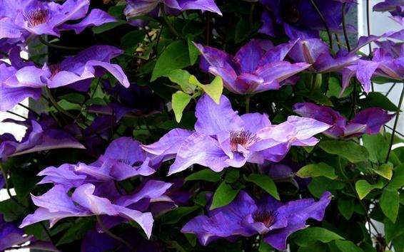 Fondos de pantalla Clematis morado, flores de primavera